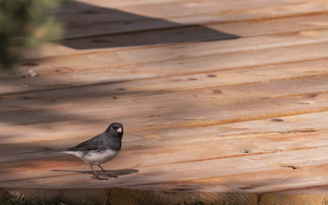Snowbird sitting on a deck